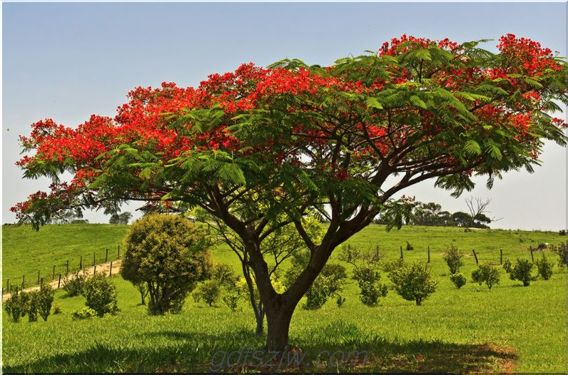 profilo crescente royal poinciana